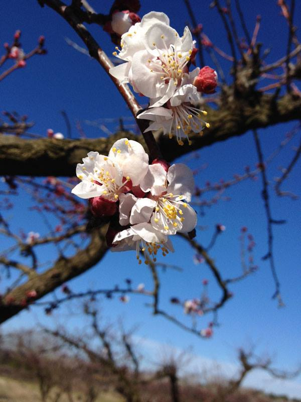 fleurs abricotier