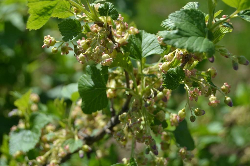 fleurs cassissier
