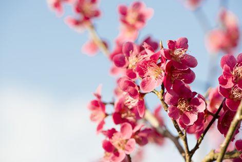 fleurs cerisier japon