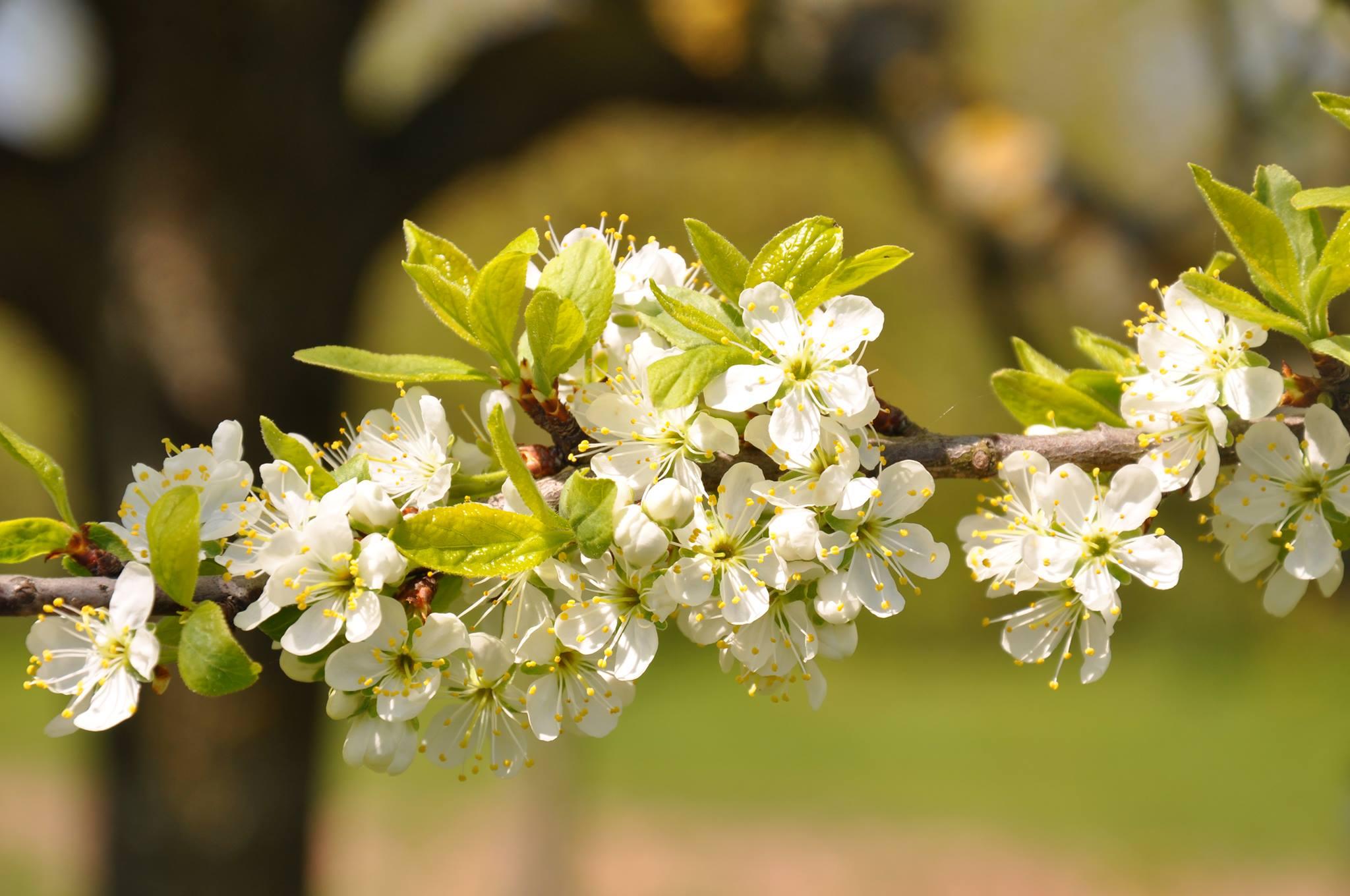 fleur mirabellier
