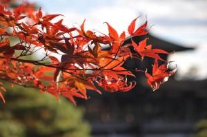 érable et temple japonais