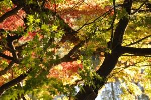 Érables japonais multicolors